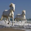 Beyaz Atlar