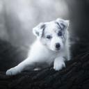 Beyaz Köpek 1