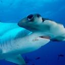 Çekiç kafalı Köpek Balığı