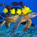 Deniz Kaplumbağası 1