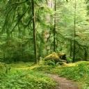 Gri Kurt Ormanı