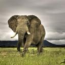 Güney Afrika Fil