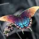 Kelebek 1