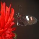 Kelebek 2