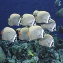 Kelebek Balıkları