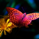Kelebekler     14