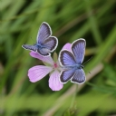 Kelebekler      15