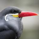 Kırmızı Gagalı Kuş