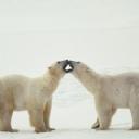 Kutup Ayıları 2