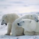 Kutup Ayıları 3