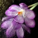 Mor Çiçek 1