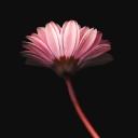 Pembe Çiçekler 2