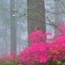 Pembe Çiçekler