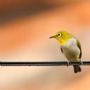 Sarı Kuş 2