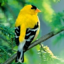 Sarı Kuş