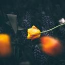 Sarı Lale 2