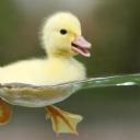 Sarı Yavru Ördek
