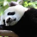Sevimli Yavru Panda