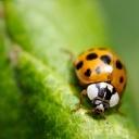 Uğur Böceği 8