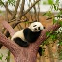 Yavru Panda 1