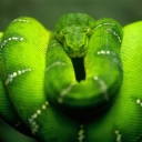 Yeşil Ağaç Pitonu