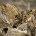 Aslan ve Yavrusu