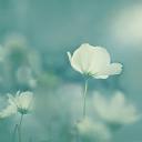 Beyaz Çiçek 1