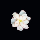 Beyaz Çiçek 4