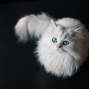Beyaz Kedi 1