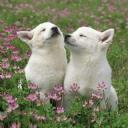 Beyaz Köpekler