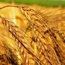 Buğday 2