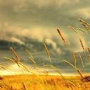 Buğday Taneleri