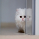 Cute White Cat