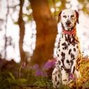 Dalmaçyalı Köpek