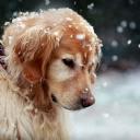 Golden Retriever Köpek