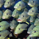 Grunt Balıkları