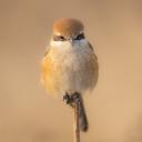 Kahverengi Kuş