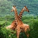 Kahverengi Zürafa