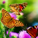Kelebekler 2