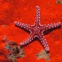 Kırmızı Deniz Yıldızı