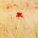 Kırmızı Gelincik