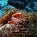 Kırmızı Japon Balığı