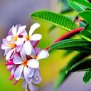 Lila Çiçek