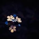 Mavi Çiçek 1