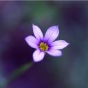 Mor Çiçek 2