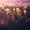 Pembe Çiçek 3