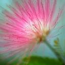 Pembe Çiçek 4