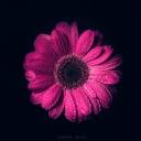 Pembe Çiçek 5