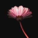 Pembe Çiçekler 3