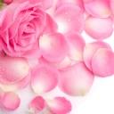 Pembe Güller